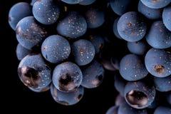 Grape vines isolated , water drops ,macro shot , black backgroun Stock Photography