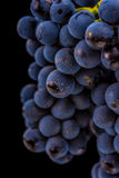 Grape vines isolated , water drops ,macro shot , black backgroun Royalty Free Stock Photography