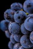 Grape vines isolated , water drops ,macro shot , black backgroun Stock Photos