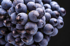 Grape vines isolated , water drops ,macro shot , black backgroun. D , ideal grapes bunch Stock Photos