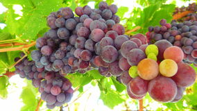 Grape Vines. Juicy red grape vine close up Stock Photography
