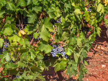 Grape vines, Lac du Salou Herault, France. Grapes maturing on vine in Lac du Salou Herault, France on sunny day royalty free stock images