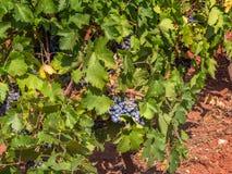 Grape vines, Lac du Salou Herault, France Royalty Free Stock Images