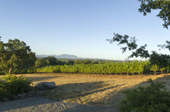 Grape vines. Late evening at a Sonoma County winery as the sun is setting and shadows are lengthening Royalty Free Stock Photos
