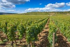 Grape vines, lush green on a bright sunny day Stock Photo