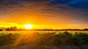 Grape vines in McLaren Vale at sunset. In South Australia Stock Photo