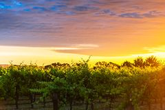 Grape vines in McLaren Vale at sunset. In South Australia Royalty Free Stock Photos