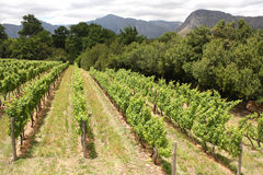 Grape vines, Montague, Route 62, South Africa Stock Photos