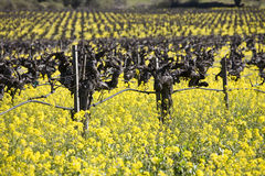 Grape Vines and Mustard Flowers, Napa Valley. Old grape vines surroundedd by blooming mustard flowers in Napa Valley, California Stock Photos