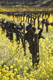 Grape Vines and Mustard Flowers, Napa Valley. Old grape vines surrounded by blooming mustard flowers in Napa Valley, California stock photo