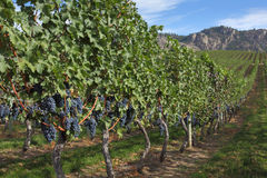 Grape Vines, Okanagan royalty free stock images