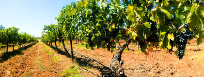 Grape Vines Panorama Stock Images