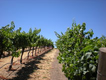 Grape Vines. Picture of grape vines in wine country Royalty Free Stock Photo