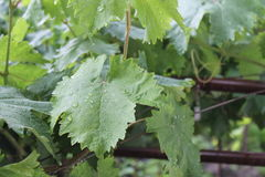 Grape vines on a rainy day. A Grape Vine gently sprinkled with raindrops. Summer rain Royalty Free Stock Image