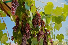 Grape vines red Stock Photo