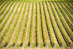 Grape Vines royalty free stock photos