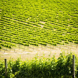 Grape Vines Royalty Free Stock Photo