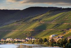 Grape vines at the river Moselle Stock Photos