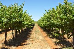 Grape vines in a row. Long row of grape vines reaching to the horizon, part of angoves winery at renmark, south australia Royalty Free Stock Photos