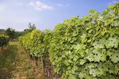 Grape vines in a row. Stock Images