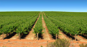 Grape vines in rows on farm Royalty Free Stock Image