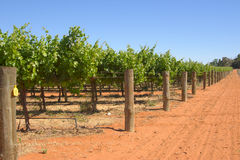 Grape vines in rows on farm Royalty Free Stock Images