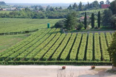 Grape Vines Rows at Winery Stock Images