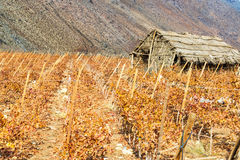 Grape Vines and Shack Stock Images
