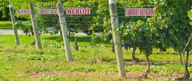 Grape Vines with Signs Royalty Free Stock Photography
