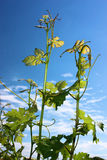 Grape Vines Skyward Reach. Grape vines reach skyward in the early summer Royalty Free Stock Images