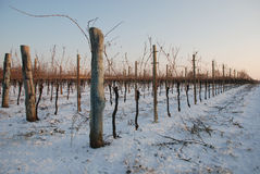 Grape Vines in the Snow Royalty Free Stock Photos