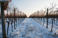 Grape Vines in Snow at Dusk Royalty Free Stock Image