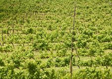 Grape vines, Stellenbosch, South Africa Royalty Free Stock Photography