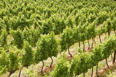 Grape vines, Stellenbosch, South Africa Royalty Free Stock Photo