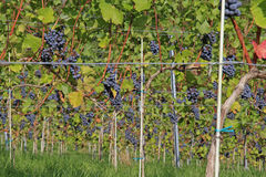 Grape vines. On a sunny day Royalty Free Stock Photo