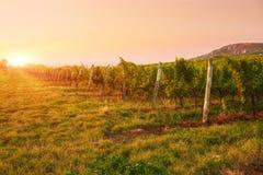 Grape vines at sunset Stock Photos