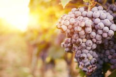 Grape vines at sunset Stock Image