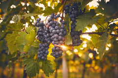 Grape vines at sunset Royalty Free Stock Photography