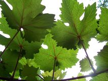 Grape vines and sunshine. Close-up photo of grape vines and leaves Stock Photography