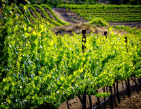 Grape Vines, Temecula, California stock photography