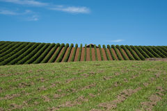 Grape vines to the horizon. Stock Photography