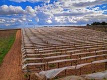 Grape vines. Turi. Apulia. Stock Photo