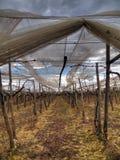 Grape vines. Turi. Apulia. Royalty Free Stock Images
