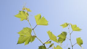 Grape vines stock video