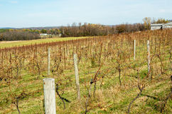 Grape vines on a vermont vineyard Stock Photos