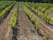 Grape vines in vineyard Royalty Free Stock Photography