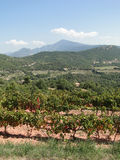 Grape vines in vineyard Royalty Free Stock Photo
