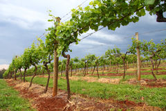 Grape Vines in a Vineyard stock photos