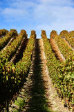 Grape vines at vineyard Stock Photos