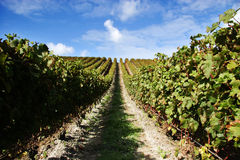 Grape vines at a vineyard Royalty Free Stock Photography